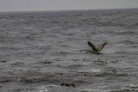 Pelican, Carmel by the Sea, California, Power Words, Resources, A Daily Affirmation, www.adailyaffirmation.com