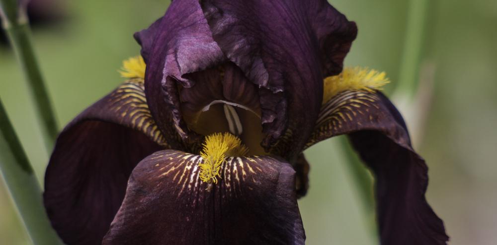 Deep Purple Iris, A Daily Affirmation, Resources. www.adailyaffirmation.com