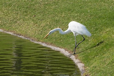 Black Legged Egret, Optimism, A Daily Affirmation, www.adailyaffirmation.com