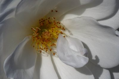 White Rose, Individuality, A Daily Affirmation, www.adailyaffirmation.com