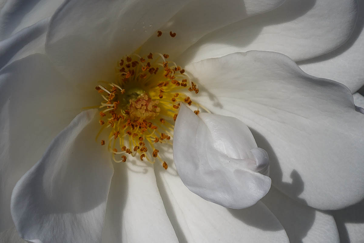 White Rose, Individuality, Challenges, A Daily Affirmation, www.adailyaffirmation.com