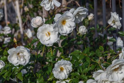 White Roses, Love, Miracles, Thoughts, A Daily Affirmation, www.adailyaffirmation.com