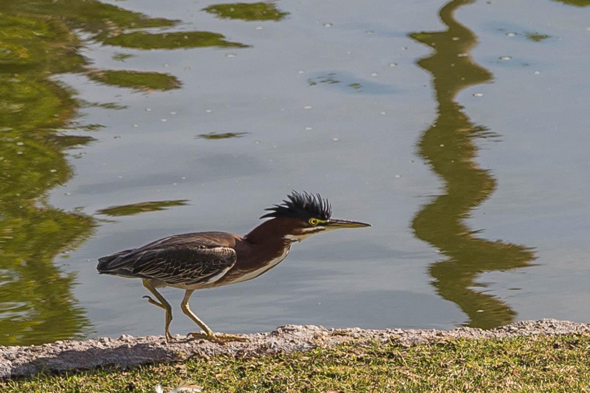 Green Heron, Power, A Daily Affirmation, www.adailyaffirmation.com