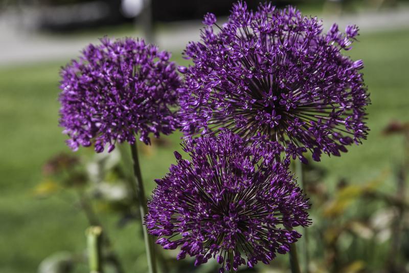 Flowers Iris, A Daily Affirmation, Accomplishments, www.adailyaffirmation.com