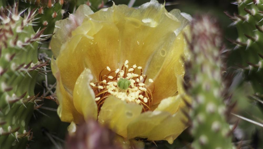 Prickly Pear, A Daily Affirmation, Gratitude, Receiving, www.adailyaffirmation.com