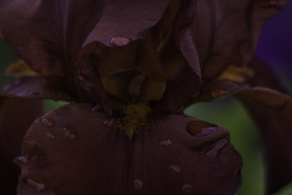 Deep Red Iris, Intentions, A Daily Affirmation, www.adailyaffirmation.com